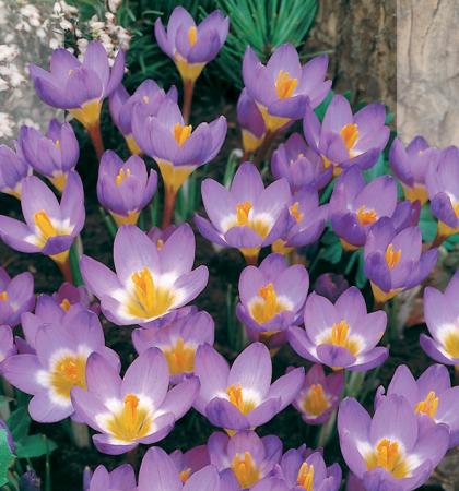 Крокус ботанический Сайбери Триколор