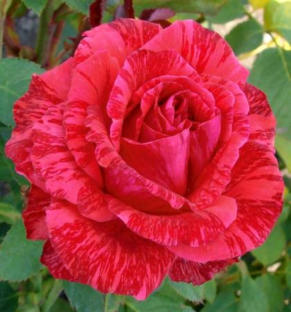 Роза чайно-гибридная Ред Интуишн