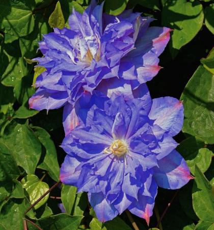 Клематис крупноцветковый (капер) Блю Экспложен