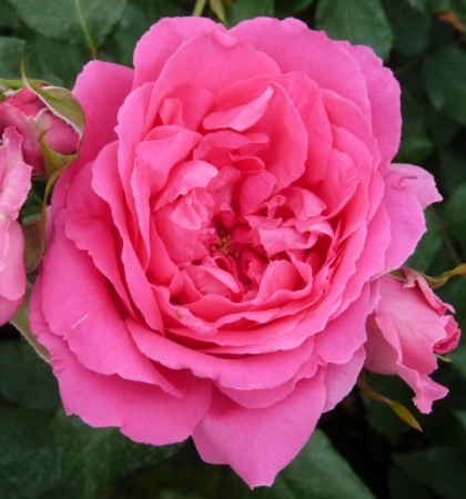 Роза плетистая Пинк Клод