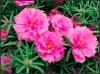 Портулак крупноцветковый Солнечная страна Розовый