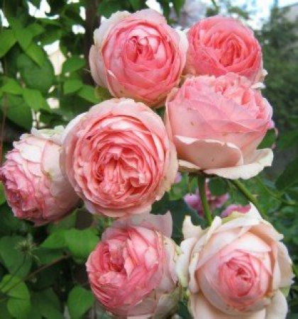 Роза парковая Фест Леди