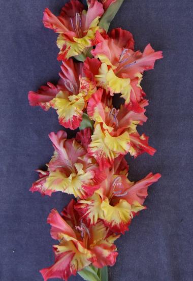 гладиолус Чебурашка (Российские гладиолусы)