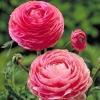 Лютик розовый (Ranunculus Pink)