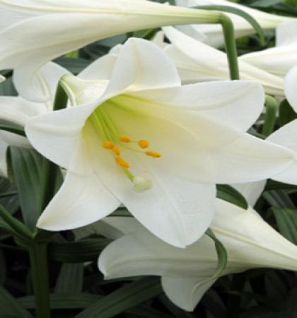 Лилия Конкордия длинноцветковые