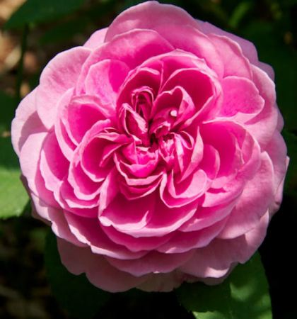 Роза английская парковая Гертруда Джекилл