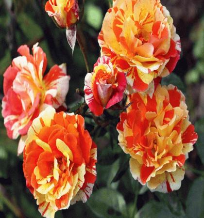 Роза флорибунда Пападжина