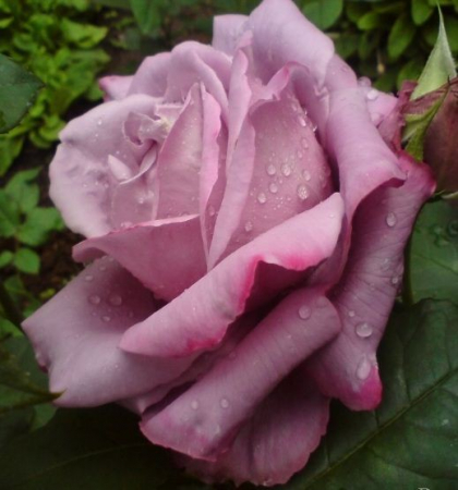 Роза чайно-гибридная Вальц Тайм
