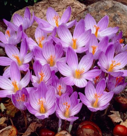 Крокус крупноцветковый Конкерор