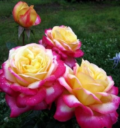 Роза Мейян чайно-гибридная Пульман Ориент Экспресс
