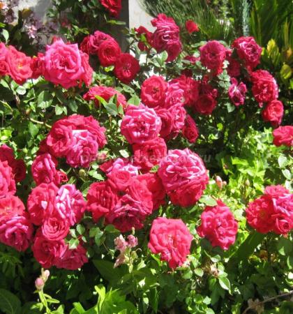 Роза парковая Декор Роуз