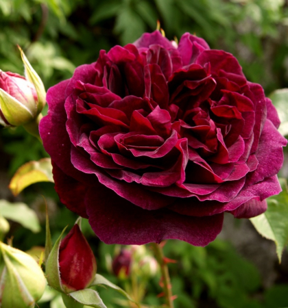 Роза английская парковая Манстед Вуд