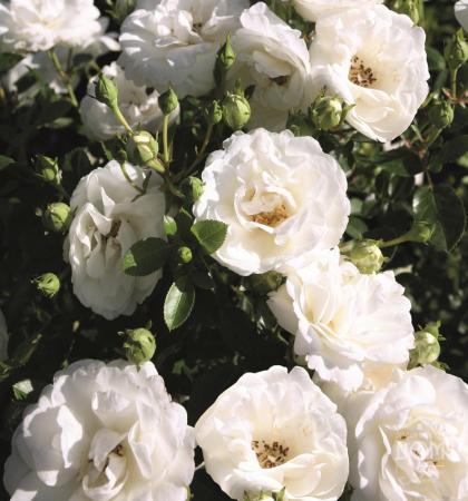 Роза миниатюрная Вайт Лидия