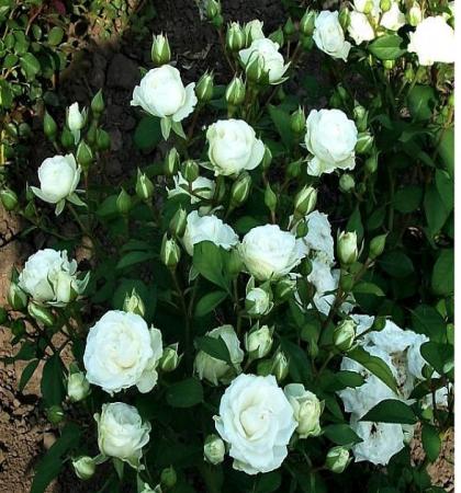 Роза спрей (миниатюрная) Вайт Лидия