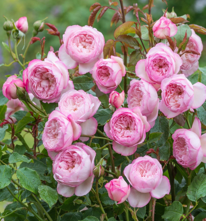 Роза английская парковая Бразе Кэдфэл