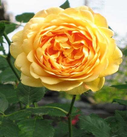 Роза английская парковая  Голден Селебрэйшн