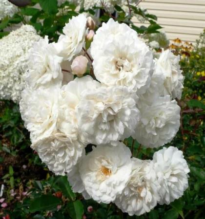 Роза парковая Сноу Баллет