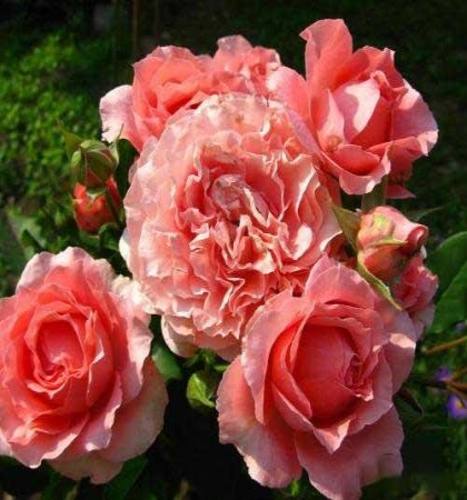 Роза парковая Корал Желе