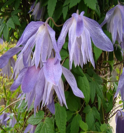 Клематис ботанический Майдвел Холл
