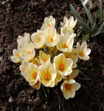 Крокус ботанический Крим Бьюти