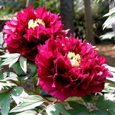 Пион древовидный Сад в розовом сиянии