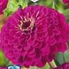 Цинния изящная Исполин Пурпурный