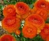 Лютик оранжевый (Ranunculus Orange)