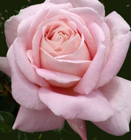 Роза чайно-гибридная Эмезинг Грейс