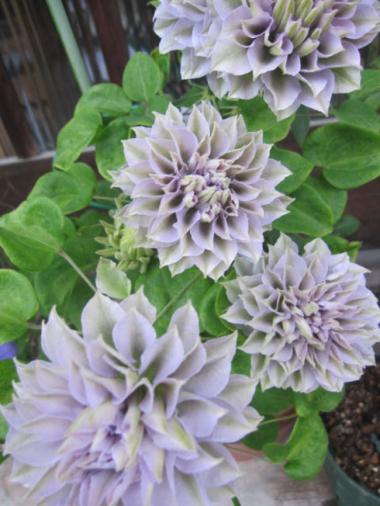 Клематис крупноцветковый (капер) Руриокоши
