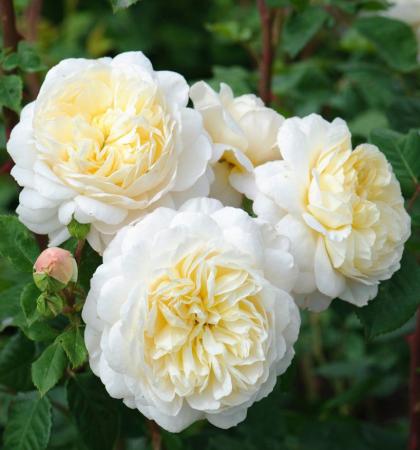 Роза английская парковая Крокус Роуз