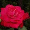 Роза плетистая Грусс эн Хейдельберг