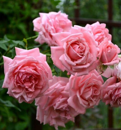 Роза плетистая Корал Даун
