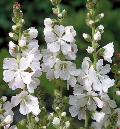 Сидальцея мальвоцветковая белоснежная