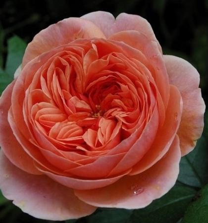 Роза парковая Чиппендейл