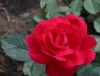 Роза парковая Виннипег паркс