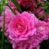 Роза почвопокровная Супер Дороти