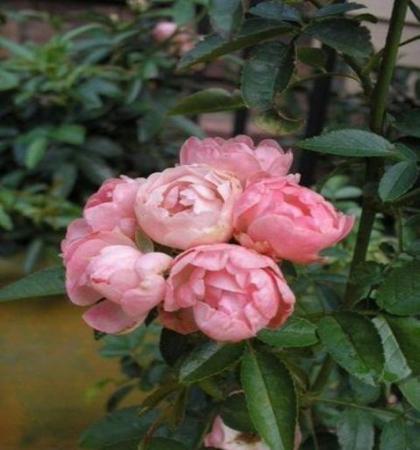 Роза миниатюрная Пинк Морсдаг