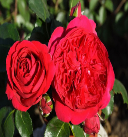 Роза парковая Эрик Таберли