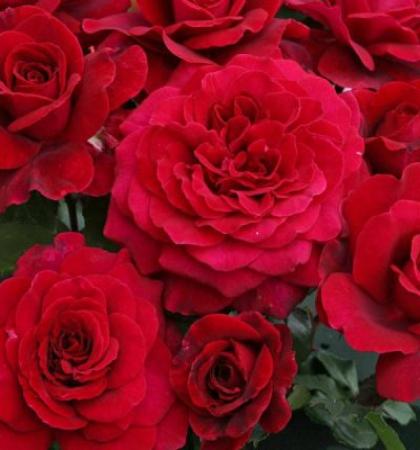 Роза миниатюрная Бэби Баккара