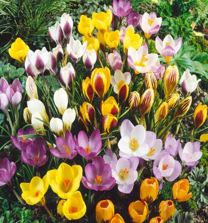 Крокус ботанический Смесь окрасок 50 шт