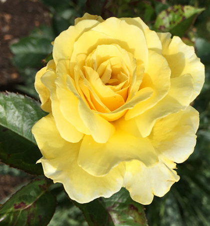 Роза парковая Йеллоу Субмарин