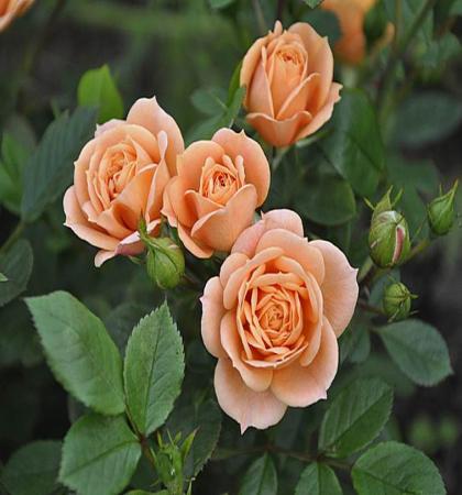 Роза миниатюрная Эприкот Клементин
