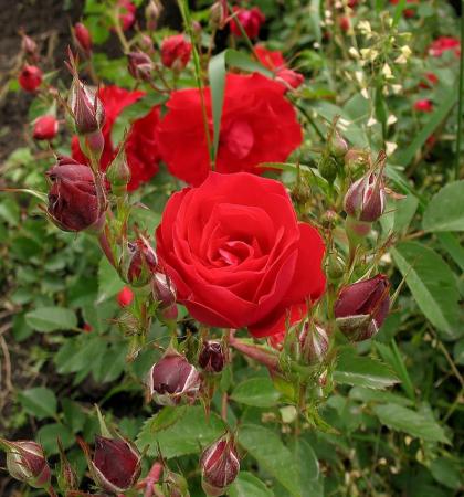 Роза канадская парковая Аделаида Худлес