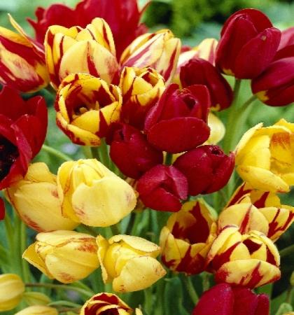 """Тюльпаны многоцветковые """"Весенняя палитра"""" смесь сортов"""