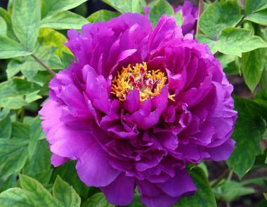 Пион древовидный Фиолетовый лотос