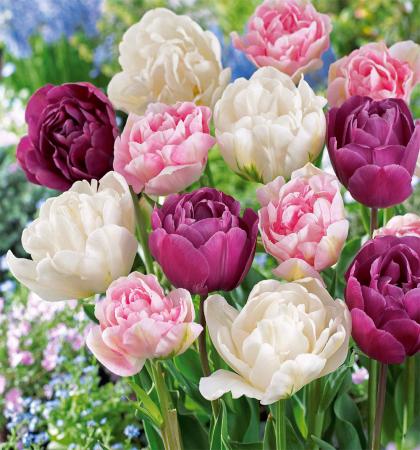 Тюльпаны махровые    Романтическая история   смесь окрасок (25 шт.)
