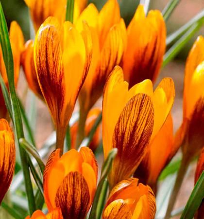Крокус ботанический  Ориндж Монарх